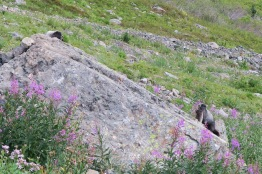The Marmots are out