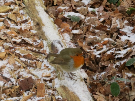 At least Mr Robin, with his chest puffed up is enjoying this bitting winters day!